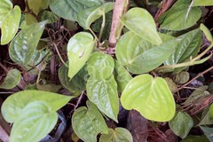 H504_3174 (bandashing) Tags: england plant green leaves garden manchester leaf vine foliage sylhet bangladesh climbers socialdocumentary paan stimulant betelleaf aoa piperbetle bandashing akhtarowaisahmed