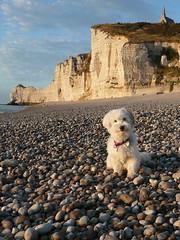tretat (runlama) Tags: dog france beach strand lucy frankreich hund normandie normandy tretat kiesel havaneser runlama