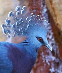 Bird - Victoria crowned pigeon (Pix.by.PegiSue>Thx over 4M+ views! Click on Albums) Tags: bird nature birds animal animals canon zoo wings nest sandiego pigeon wildlife ngc birding flight beak victoria tourist safari pjaros wap aviary winged vgel vogel oiseaux nesting crowned zooanimals cuteanimals  victoriacrownedpigeon ndege zoophotography visitsandiego sandiegozoosafaripark visitthezoo sdzsafaripark sandiegozooglobal pixbypegisue wwwflickrcomphotospixbypegisue
