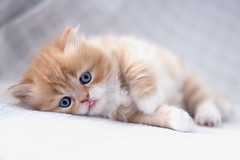 tongue (koolandgang) Tags: orange pet baby animal cat persian kitten bokeh kitty reis indoor depthoffield carrot boke kedi babycat havu portakal pisipisi irankedisi maaallah nikond700 kedici nikon50mmf14g