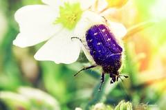 Chinche en primavera (Por ESTEBAN ALEJANDRO) Tags: flower primavera bug spring flor chinche