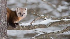 Pine Marten (Raymond J Barlow) Tags: travel ontario canada animal pine outdoor wildlife workshop marten phototours raymondbarlow