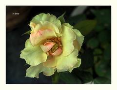 Rosa (o.dirce) Tags: flower nature rose natureza rosa amarela odirce