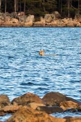 Deer, taking a swim. (Janne Piiroinen) Tags: ocean nature swim suomi finland gulf deer finnish taking archipelago luonto kirkkonummi peura linlo