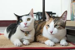 20160330-DSC_0257 (Noelas) Tags: pet 30 cat ed momo nikon taiwan na 03 mo nana nikkor dslr   vr  afs   yunlin 2016 f4g  24120mm 24120  d810   nikond810  yn565ex  nikonafsnikkor24120mmf4gedvr