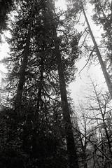Going up (that analogue guy) Tags: trees washington nikon kodak trix 11 d76 400 olympics fm hohrainforest hallofmosses nikkorh28mmf35