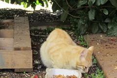 IMG_0336 (pcolmena) Tags: gris gato comiendo rubio micho
