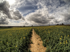 Path through the rapeseed, Winchester, UK (neilalderney123) Tags: uk flowers clouds landscape path farming olympus winchester canola rapeseed samyang 2016neilhoward 2016neilhoward