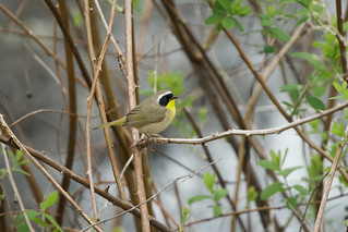 Common Yellowthroat, Stillwater, WA, 4-11-2016