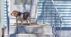DSC02062-2 (johnjmurphyiii) Tags: usa dog beagle connecticut cromwell fletch originaljpeg johnjmurphyiii 06416 sonycybershotdsch90