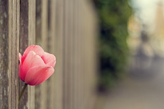 Please, WAIT for me (Daisyd80) Tags: pink plant flower fence alone bokeh outdoor tulip hbw platimumheartaward