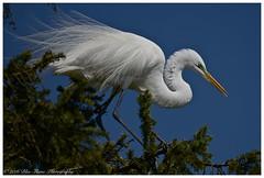 Great Egret (In Breeding Plumage)  (Rodolfo Quinio) Tags: bird nature wildlife lancastercounty greategret coth yorkpa inexplore kiwanislake coth5