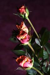 DSC_0860 Roses (PeaTJay) Tags: flowers roses plants macro nature rose gardens fauna reading flora sigma indoors micro closeups berkshire rosebuds lowerearley nikond750