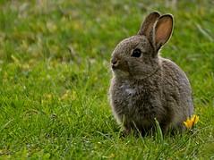 Lente - een nieuwe lichting. Spring - a new batch. (breboen) Tags: flower cute rabbit bunny nature grass garden born spring konijn young fluffy dier lapin kaninchen