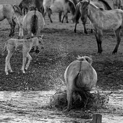 Wild Horses in black-and-white - Bathing - 2016-010_Web (berni.radke) Tags: horse pony bathing herd nordrheinwestfalen colt wildhorses foal fohlen croy herde dlmen feralhorses wildpferdebahn merfelderbruch merfeld przewalskipferd wildpferde dlmenerwildpferd equusferus dlmenerpferd dlmenpony herzogvoncroy wildhorsetrack