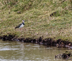 9Q6A9875 (2) (Alinbidford) Tags: lapwing cormorant buzzard greyheron littleegret redshank greatcrestedgrebe brandonmarsh alancurtis alinbidford weepingwillowbuds