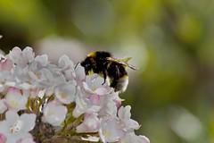 "White-tailed bumblebee "" Bombus lucorum"" (Kay Musk) Tags: uk wild nature insect wildlife essex nikond3200 bombuslucorum whitetailedbumblebee"