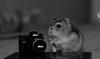 cuteness overload (dn_o) Tags: blackandwhite pet pets cute monochrome blackwhite nikon sweet hamster monochrom petportrait dwarfhamster petphotography nikonphotography nikoneurope iamnikon nikond610
