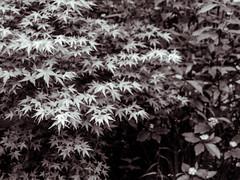 Maple Leaves (prima seadiva) Tags: bw sepia maple japanesemaple april mygarden