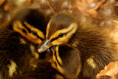 eendjes (j.vanesch) Tags: duck natuur eend fotobefvdm1604