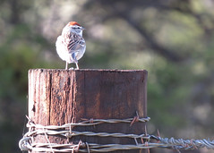 Chipping Sparrow (Kelly Preheim) Tags: sparrow chipping