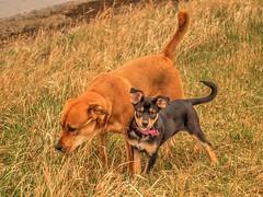 The Pups (MSVG) Tags: park dog fish canada calgary creek puppy shepherd chloe rottweiler german alberta boxer pup roxy rottweiller provincial