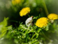Lwenzahn (mohnblume2013) Tags: fokus lensbay
