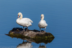 Pair of swans (garmoncheg) Tags: morning blue two white lake reflection bird love nature water beautiful beauty animal swim river mirror swan wings pond couple day peace heart symbol background wildlife pair feathers peaceful grace calm valentine romance swans lovely graceful tranquil elegance purity whooper