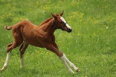Chestnut Foal Racing (iamdeertail) Tags: flowers horses horse flower green face grass yellow socks bay stripe running run chestnut halter mane foal foals