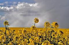 _DSC1672 -Champ de colza (Le To) Tags: flowers nature fleurs jaune landscape nikon couleurs fiori extrieur champ colza nikond5000