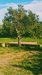 Alberello solitario. (cor20131) Tags: verde green samsung natura albero piante allaperto vsco