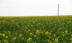 06-IMG_9899 (hemingwayfoto) Tags: energie landwirtschaft feld gelb blte raps horizont blhen telegrafenmast bruchriede