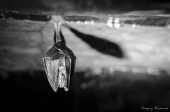 Batman (Tanguy V) Tags: bw white black animal nikon noir wildlife bat nb cave blanc chauvesouris 30mm fixe focale d5100
