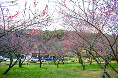 () Tags: flowers mountain plant flower canon outside blossom plum bluesky marco   plumblossom wulinfarm plumflower       ef1635mmf28l redplum  1dx marcolens  ef100mmf28marco
