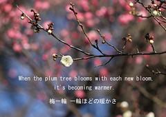 Haiku Photo (Japanese Plum) (seiji2012) Tags: spring haiku plum apricot