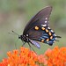 Pipevine Swallowtail on Milkeweed