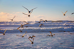 scatter (YetAnotherLisa) Tags: ocean sunset seagulls beach coast fly waves scatter fortfunston frenzy hss