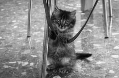 Pequea (Marisa Cuesta) Tags: blanco negro jugar gatita sentada posado