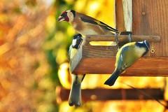 ~~Le Chardonneret et les msanges~~ (Jolisa) Tags: birds trois oiseaux mangeoire chardonneret msanges dcembre2015