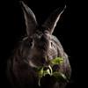 Eating Celery Leaves (Jeric Santiago) Tags: pet rabbit bunny animal eating conejo celery lapin hase kaninchen うさぎ 兎 winterrabbit
