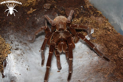 "Mature male Theraphosa stirmi • <a style=""font-size:0.8em;"" href=""http://www.flickr.com/photos/77637771@N06/24234634455/"" target=""_blank"">View on Flickr</a>"