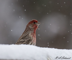 House Finch (Ruthie Kansas) Tags:
