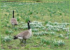 Der Frühling kommt im Gänsemarsch ... (Kindergartenkinder) Tags: samsung gans schloss ente par vogel osterglocken schneeglöckchen herten kindergartenkinder