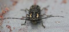 Longhorn beetle (Cerambycidae) (iainrmacaulay) Tags: beetle australia longhorn cerambycidae