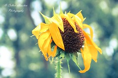 Warmth of the Flower (coltonhouston5) Tags: flowers light plants sun plant flower green nature yellow outdoors outdoor warmth sunflower