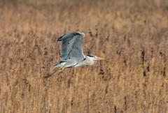 033a (273) (Baffledmostly) Tags: heron flying brandonmarsh canon100400mmmk2