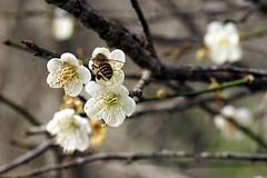 plum blossom  (chinwenyus) Tags: bee  abigfave