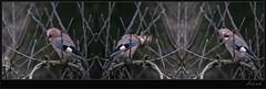 (Weinstckle) Tags: vogel rabenvogel eichelhher