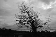 Dry tree (Amit Nadgeri) Tags: nature photography amit nikond3200 nadgeri