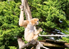 White cheeked gibbon 271215 06 (Leigh James (Fidgitydigit)) Tags: primate gibbon whitecheekedgibbon zoodelaflechefrancezoo